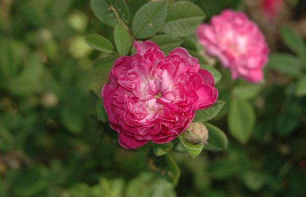 Pompon-de-Bourgogne-Rosa-centifolia-burgundica-già-nota-nel-1600
