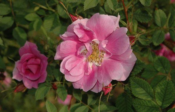 Rosa-californica-plena-specie-California