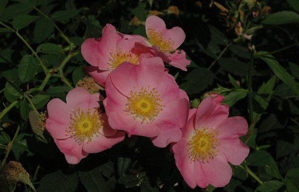 Rosa-canina-andersonii-Hillier-1912-un-bellissimo-ibrido-di-r.canina-x-r.arvensis-o-x-r.gallica