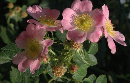 Rosa-eglanteria-specie-Europa