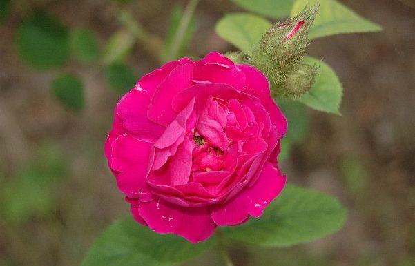 Rosa-gallica-officinalis-riscoperta-forse-nel-XIII-sec.-dai-crociati-in-terrasanta