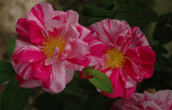 Rosa-gallica-versicolor-Rosa-Mundi-già-nota-nel-1300-14oo