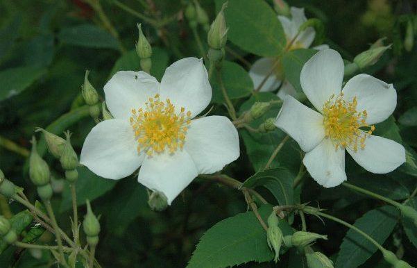 Rosa-moschata-specieEuropa-meridionale-Medio-oriente-già-diffusa-nel-mondo-greco-latino