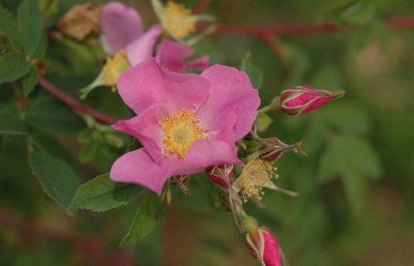 Rosa-multibracteata-specie-Cina-occidentale