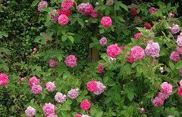 Rosa-multiflora-platyphilla-specie-Estremo-Oriente
