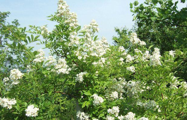 Rosa-multiflora-specie-Giappone