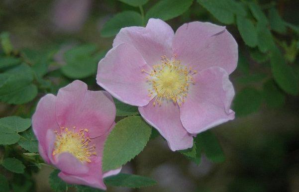 Rosa-nutkana-specie-America-settentrionale