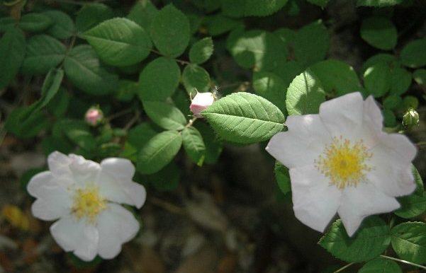 Rosa-sancta-specie-un-antico-ibrido-di-r.rubra-x-r.phoenicia-forse-già-nota-nellEgitto-dei-Faraoni