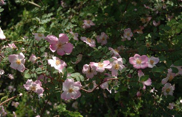 Rosa-willmottiae-specie-Cina-occidentale