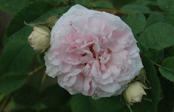 Rosa-x-alba-incarnata-Cuisse-de-Nymphe-Maiden-Blush-1400-ma-più-antica