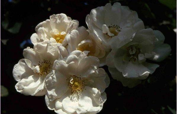 Rosa-x-alba-semiplena-specie-Europa-e-Asia-Minore-antico-ibrido-tra-r.damascena-e-r.canina