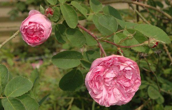 Rosa-x-centifolia-major-Rose-des-Peintres.-Una-delle-prime-centifolie-creata-in-Olanda-da-ibridazioni-delle-altre-rose-europee.Fine-1500-e-1600.