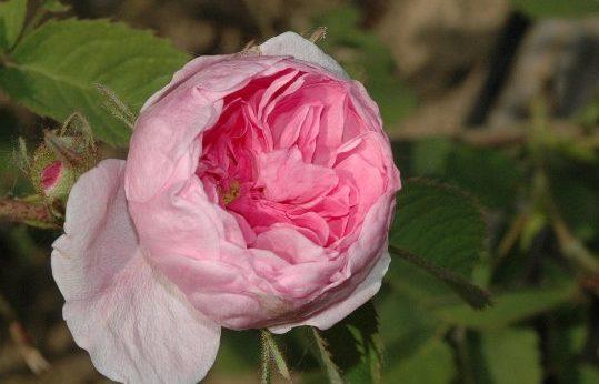 Rosa-x-centifolia-minor-Petite-de-Hollande-XVII-sec.