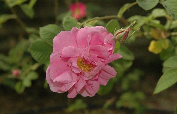 Rosa-x-damascenaspecieEuropa-e-Asia-Minore-antica-figlia-della-r.rubra-con-r.phoenicia